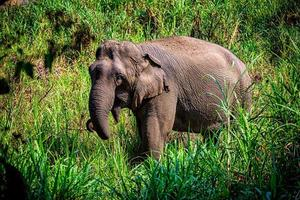 elefante asiatico è un grande mammifero. foto