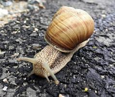 piccola lumaca da giardino in guscio che striscia sulla strada bagnata, lumaca sbrigati a casa foto
