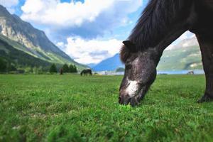 una punta di cavallo nero nel prato in alta montagna foto