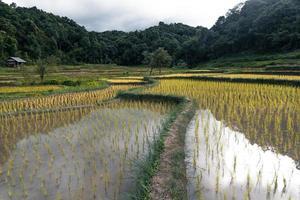 giovane pianta di riso nel campo foto