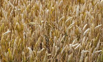 campo di punte di piante agricole in natura foto