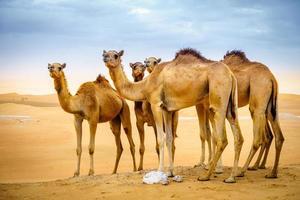cammelli selvaggi nel deserto foto