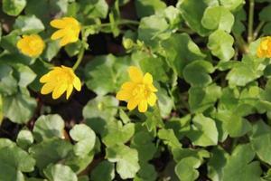 fiori di palude gialli su uno sfondo foto