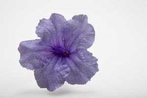 fiore viola minnieroot, popping pod, pianta cracker su bianco foto