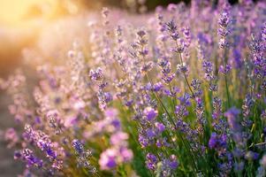 fiori di lavanda tramonto su un campo estivo di lavanda viola foto