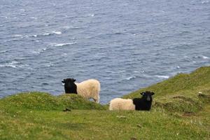ritratto di pecora alle isole faroe foto