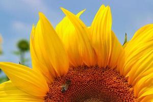 girasole in fiore su un campo bavarese foto