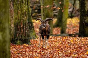 capra di montagna selvatica nella foresta autunnale foto