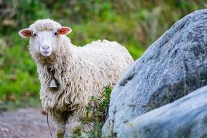 pecore al pascolo foto