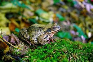 rana comune europea nella foresta autunnale foto