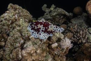 lumaca di mare nel mar rosso colorato e bello, eilat israel foto
