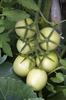 un rametto di pomodori verdi. i pomodori acerbi sono appesi a un cespuglio foto