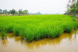 campo di riso verde foto