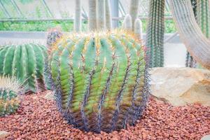cactus - ferocactus ibrido cactaceae foto