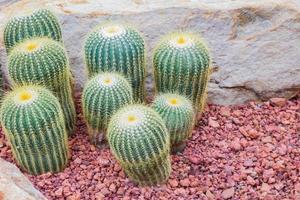 cactus - parodia claviceps cactaceae foto