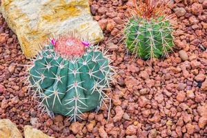 cactus - melocactus ernestii cactaceae foto
