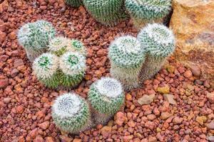 cactus - mammillaria sp. cactacee foto