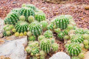 cactus - echinopsis calochlora cactaceae foto