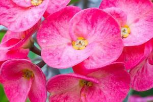 fiore rosso di euforbia milii foto