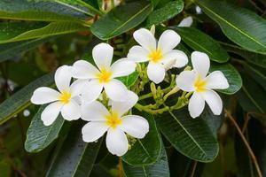 fiori di plumeria bianchi sull'albero dopo la pioggia. foto