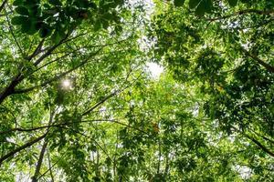 foglia di albero della gomma foto