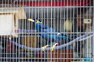 comune collina myna nella gabbia. foto