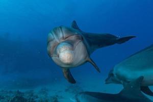 delfino che nuota nel mar rosso, eilat israele foto