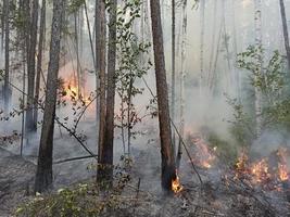 incendio forestale. foresta che brucia in yakutia. pericoloso spontaneo naturale foto
