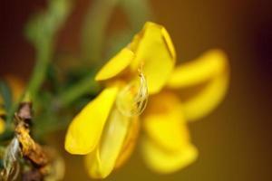 fiore sbocciare vicino spartium jenceum famiglia leguminosae botanicaly foto