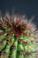 cactus close up stenocereus thurberi famiglia cactaceae botanica moderna foto