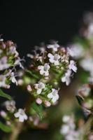 fiore sbocciare close up thymus vulgaris famiglia lamiaceae background foto