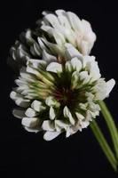 fiore sbocciare da vicino sfondo trifolium nigrescens leguminosae foto