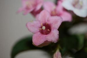 fiore sbocciare vicino weigela florida famiglia caprifoliaceae foto