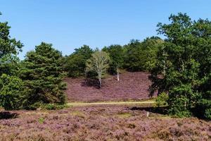 nella riserva naturale fischbeker heide vicino ad amburgo germania foto