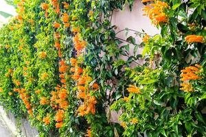 la tromba arancione africana bignoniaceae foto