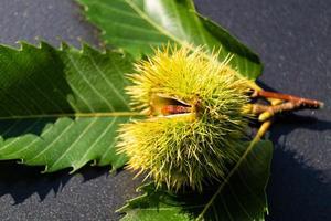 i frutti del fico d'india sono maturi in autunno foto