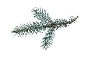 ramoscello di abete blu, isolato su sfondo bianco foto