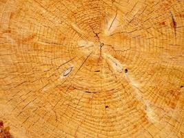 vista macro di un nuovo taglio trasversale di un albero giallo con resina foto