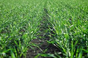 giovani colture invernali di grano in un campo. foto