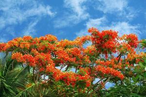 albero di fiamma fiore rosso che sboccia foglie verdi appena nate sull'albero foto