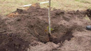 albero da piantare foto