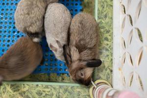 coniglio dorme a terra, coniglietto domestico, holland lop foto
