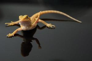 drago barbuto a terra con sfondo sfocato foto