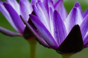 primo piano bellissimo fiore di loto in stagno, gocciolina d'acqua su lotus foto