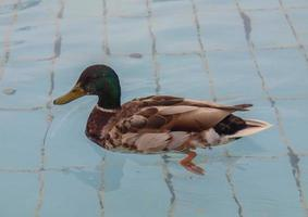 uccello anatra in piscina foto