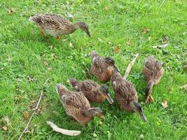 uccelli d'anatra nell'erba foto