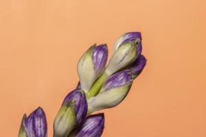 Immagine ravvicinata di boccioli di fiori viola su sfondo arancione foto