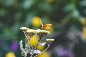 farfalla arancione su fiori gialli foto