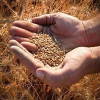 raccolto di grano estivo foto