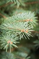 ramo di pino da vicino foto